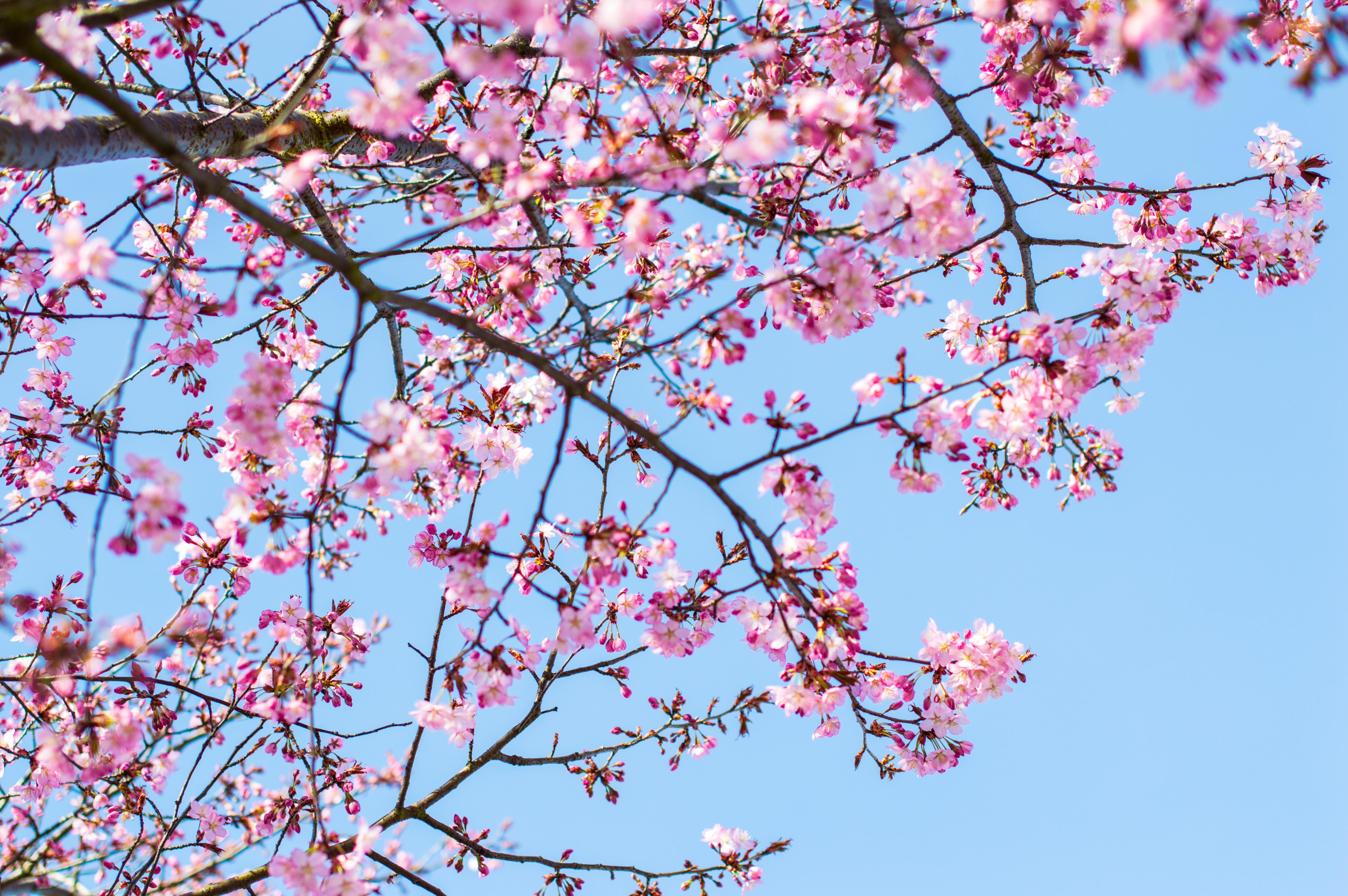 cherry blossom tree under clear blue sky