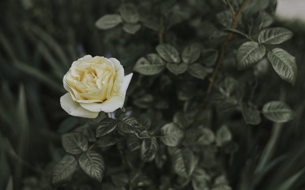tilt shift lens photography of white rose