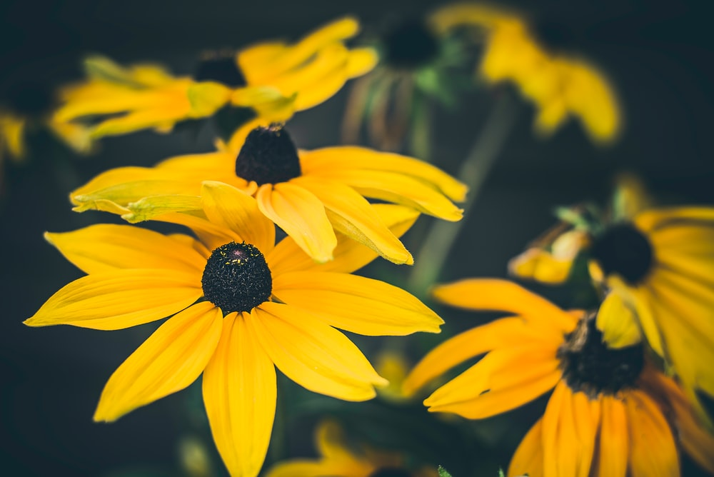 Black eyed susan flower petal and blossom hd photo by owen young close shot of yellow flowers mightylinksfo