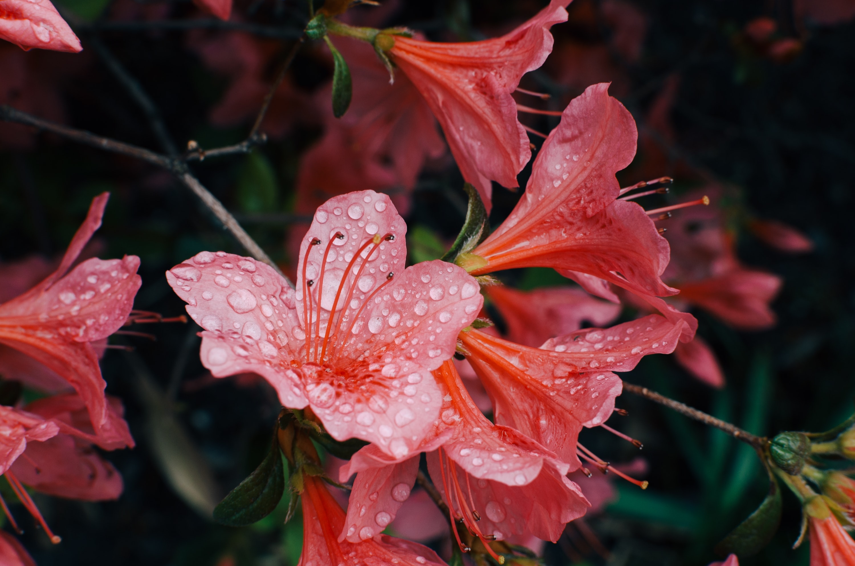 Reddish pink flowers covered in rainfall.