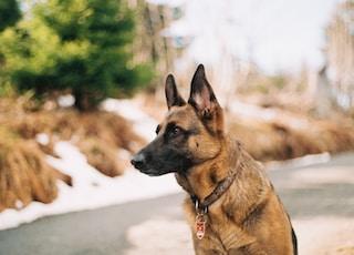German shepherd near river and trees