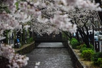 pathway between white cherry blossom trees