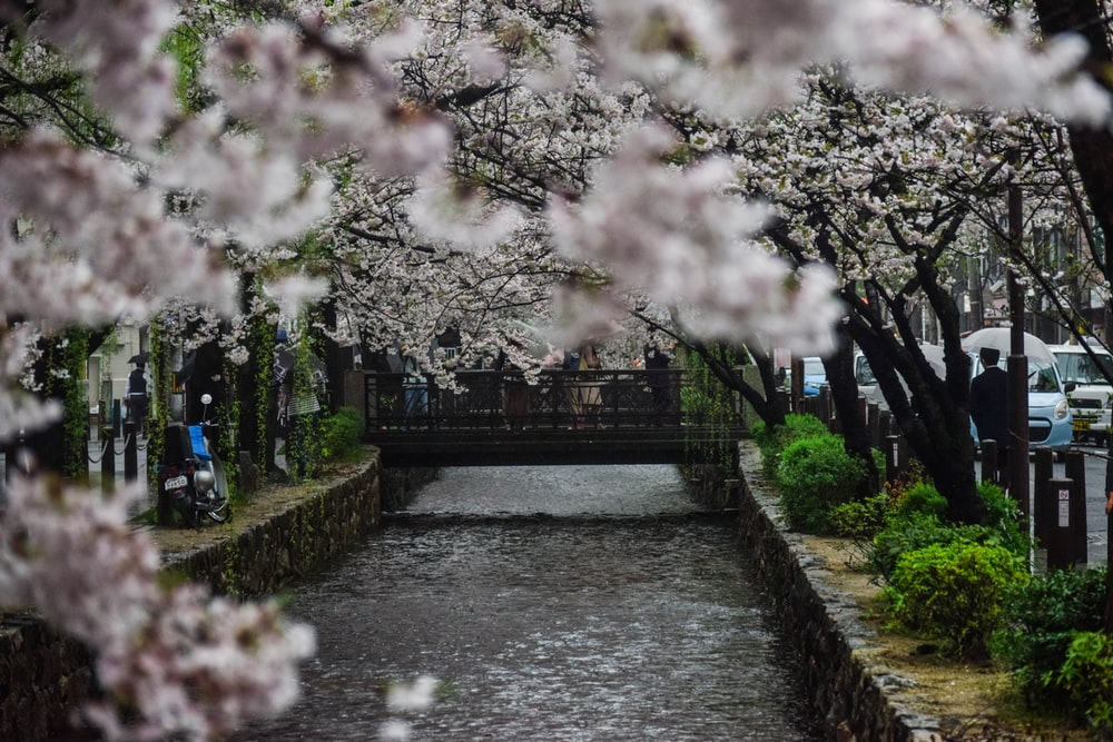 Image result for white cherry blossom