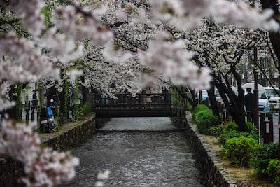 pathway between white cherry blossom trees sakura teams background