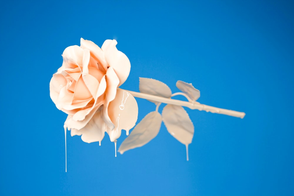 Blue Roses Pictures Hd Download Free Images On Unsplash