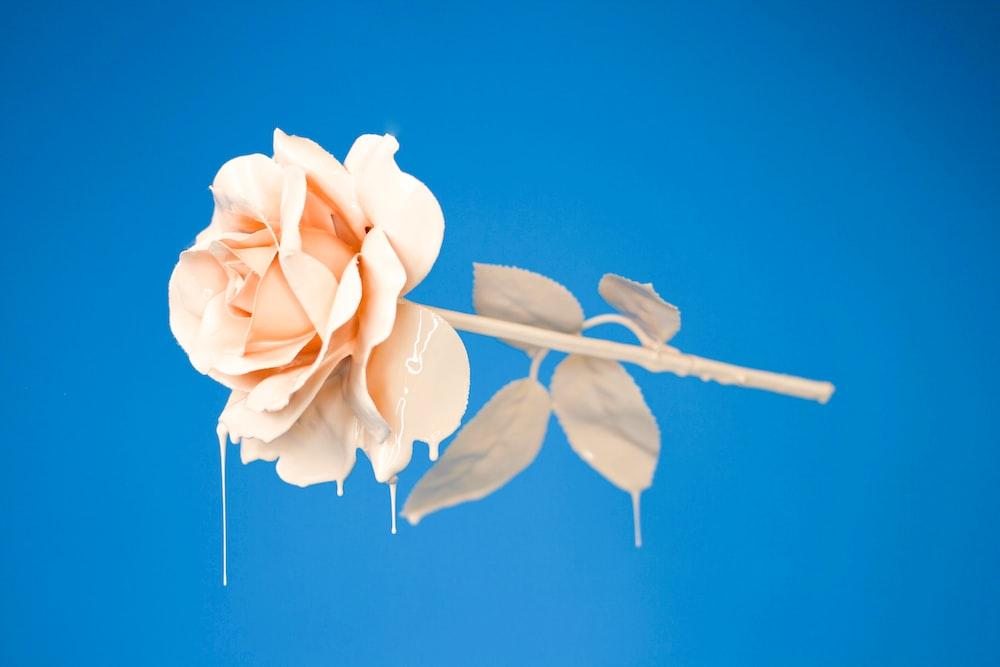 download flower wallpapers hd unsplash