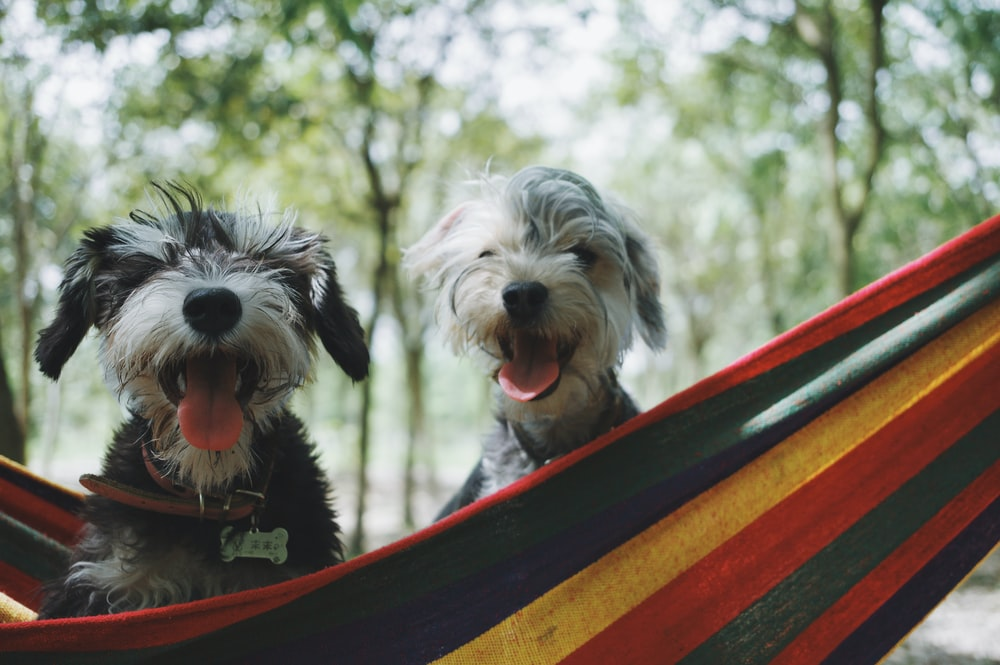 two long-coated white-and-black puppies on hammock