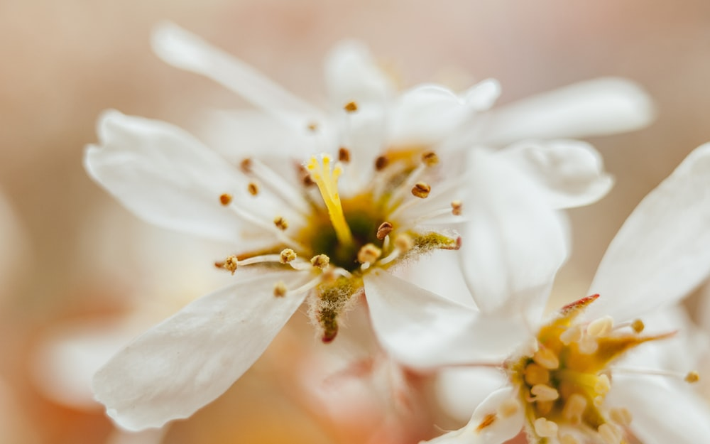 White flowers in close up photo by christian widell a macro shot of a white flower with a yellow stamen mightylinksfo