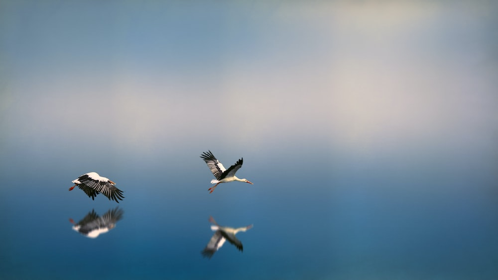 two white-and-black birds flying on to of water reflecting selves