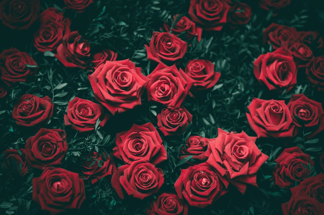 Roses Photo By Biel Morro (@bielmb) On Unsplash