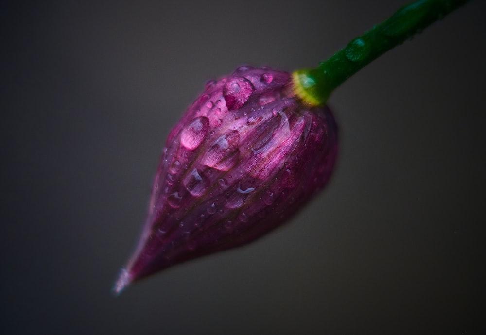 purple flower bud