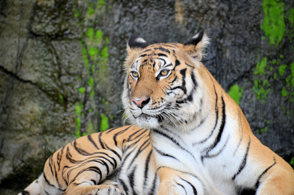 white and black tiger lying on gray rock in closeup photography