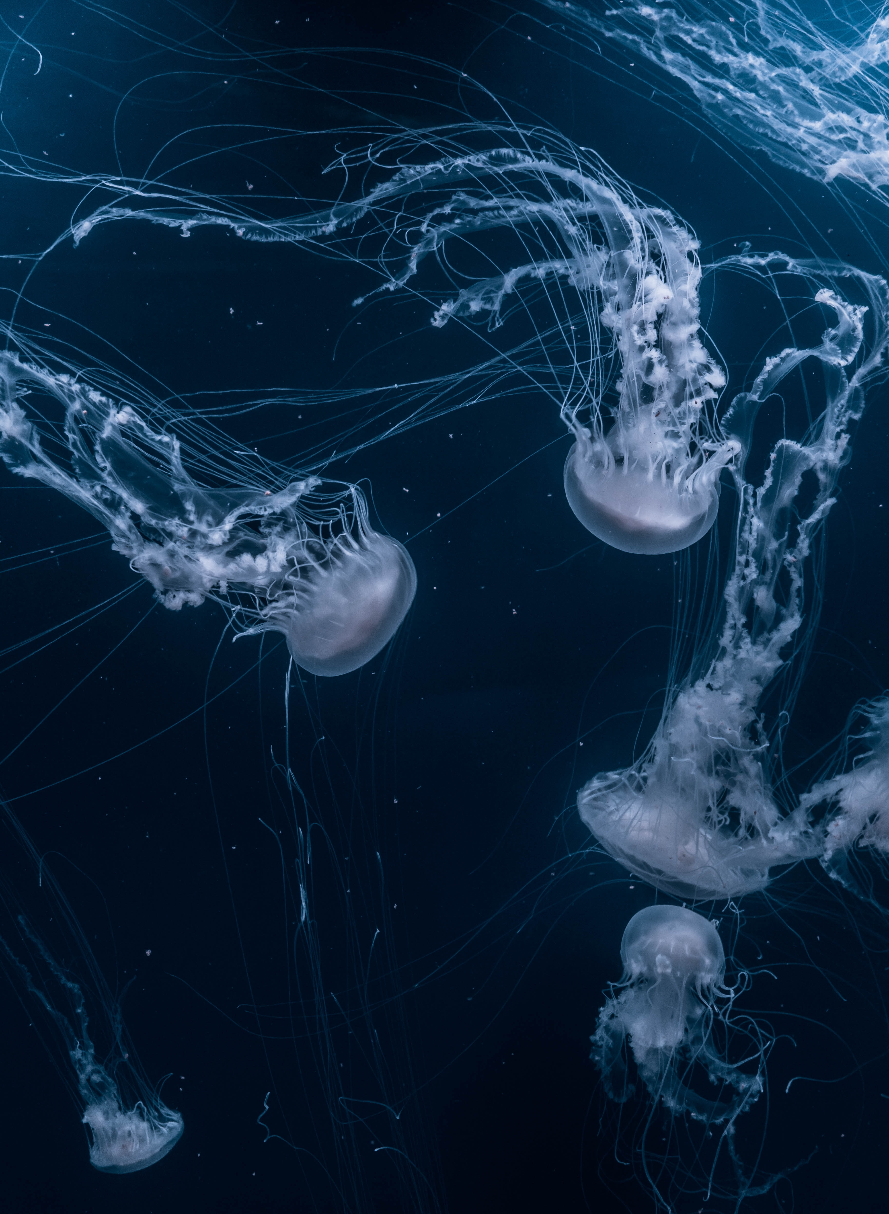 white jellyfishes swims