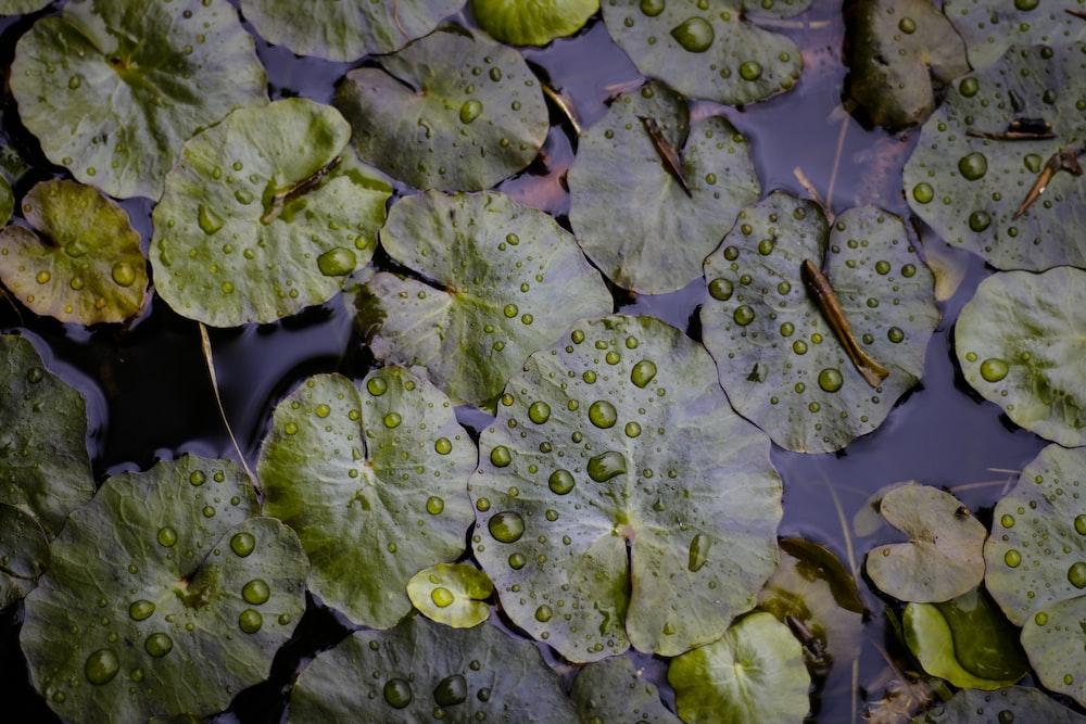 green waterlily closeup photo