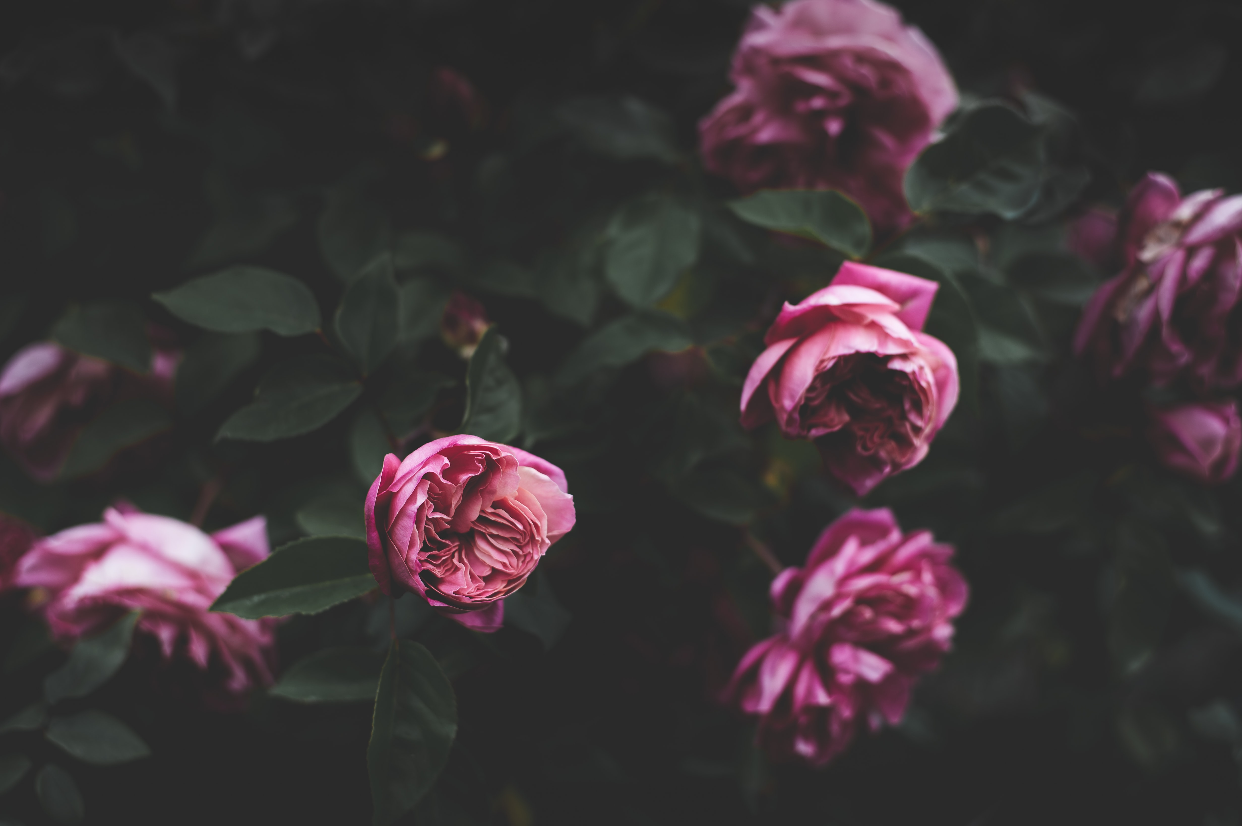 selective photography of pink petaled flowers