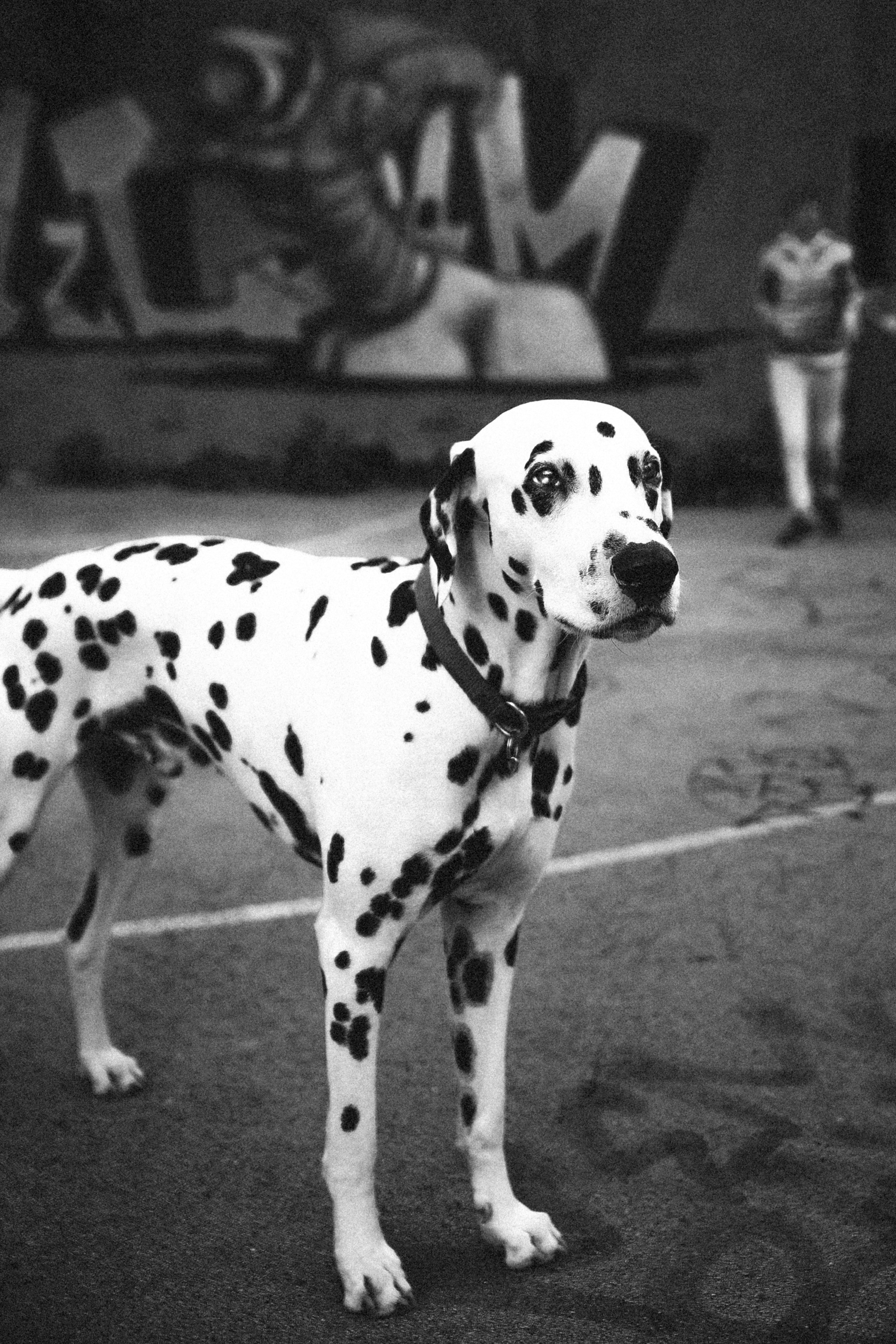 Black and white photo of dalmatian dog in a parking lot near graffitied wall