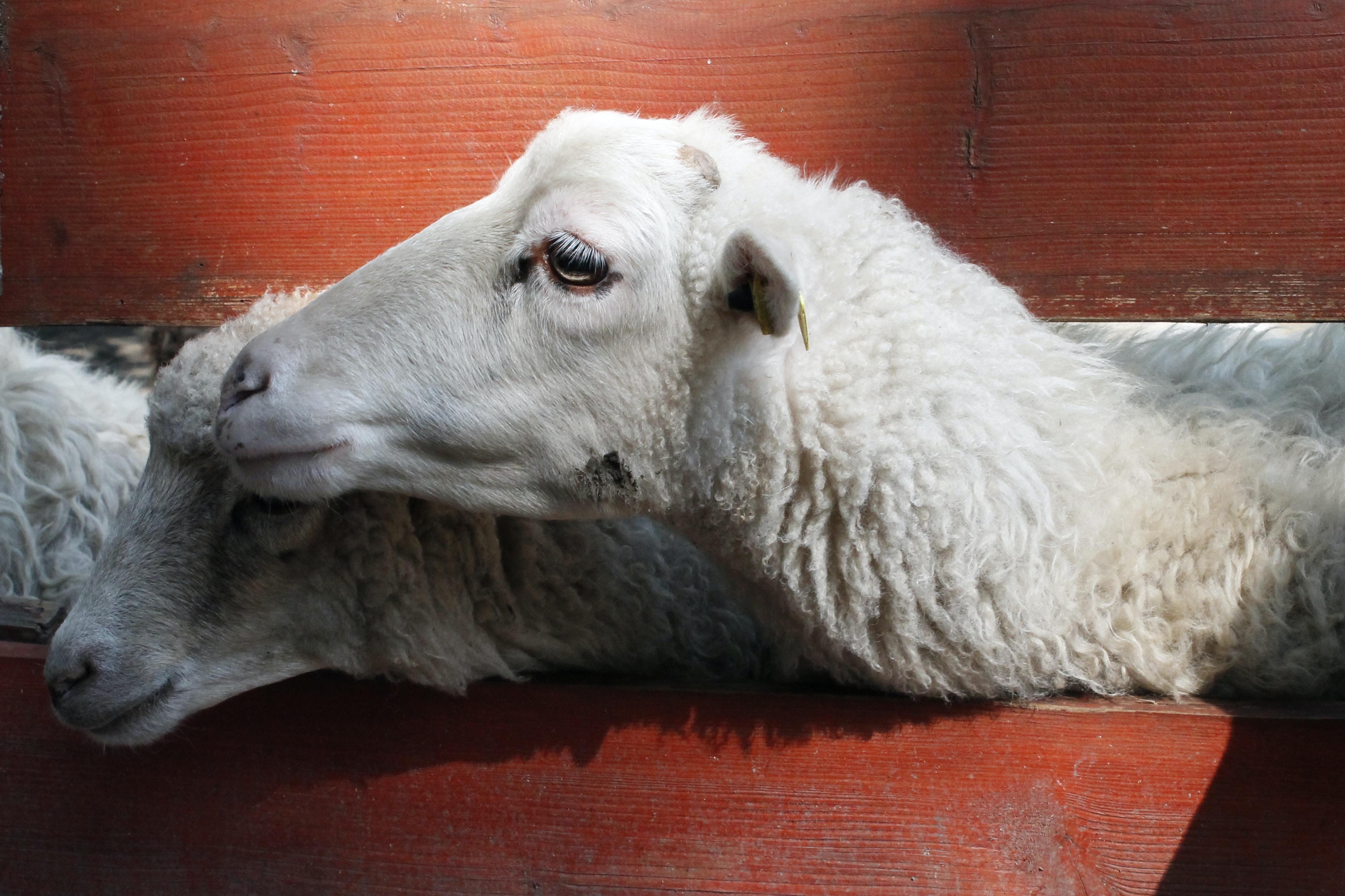 two white sheeps