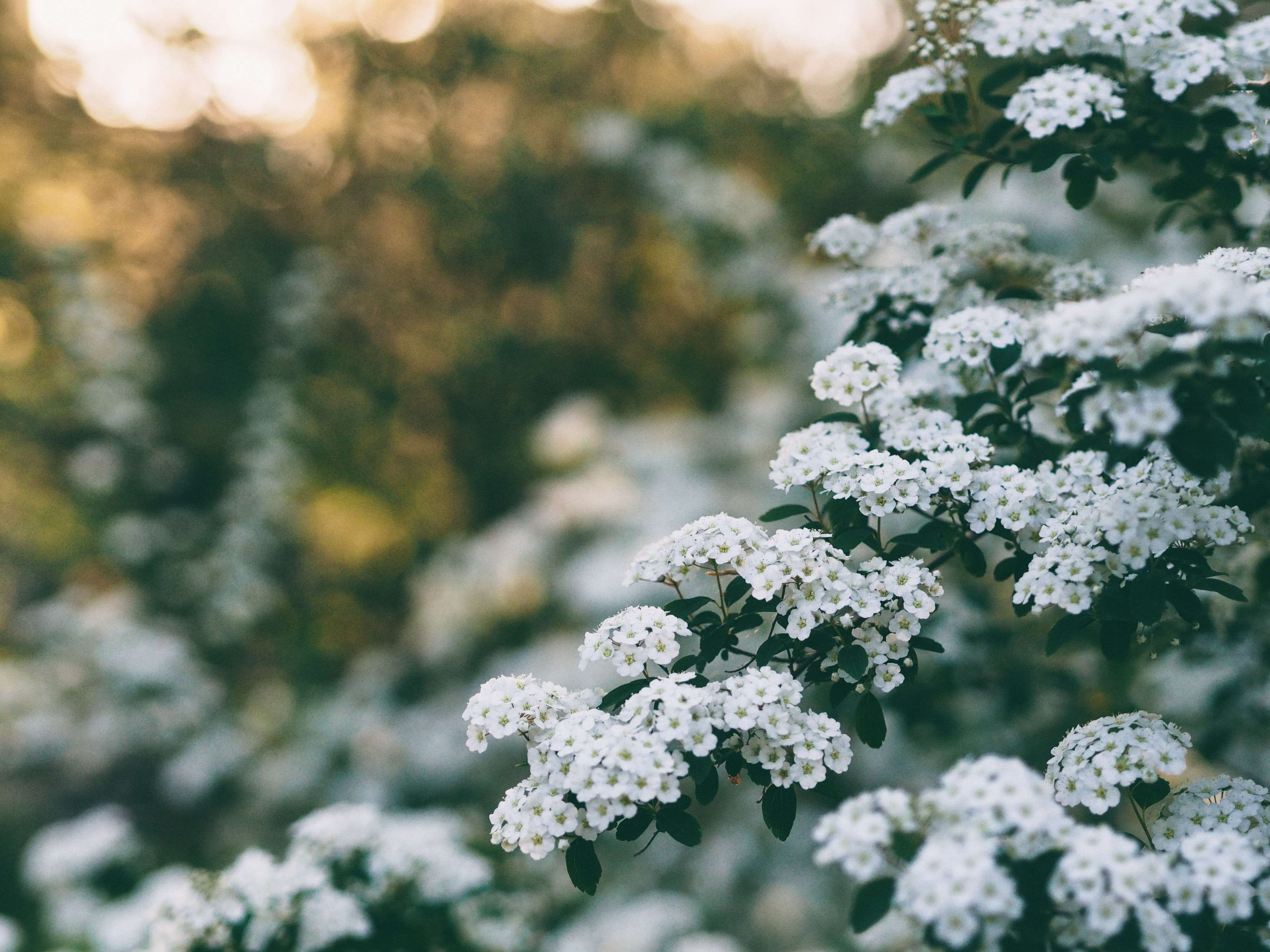 hallow focus photography of white flowers