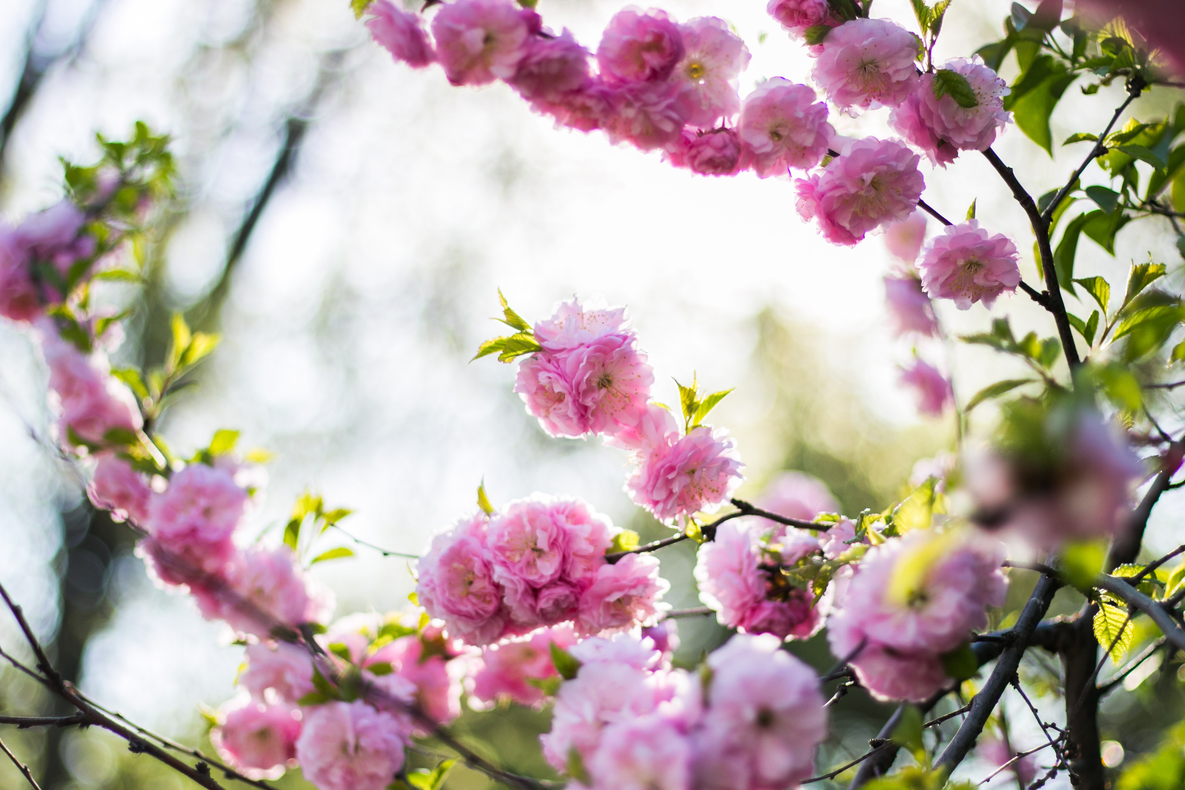 Bunches of thick pink blossom on leafy branches in daytime in Spring