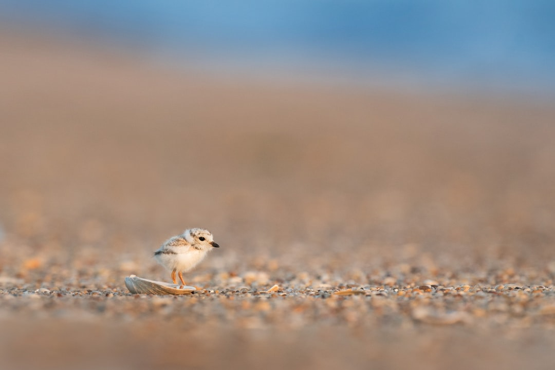 A very tiny and incredibly adorable Piping Plover chick stands right behind a small shell on the beach as if it is somehow hidden behind it.  I like that the shell has a tiny bit of water in it that reflects the chick's orange legs.  The soft sun had just started to break through a cloud bank that hung at the horizon so the morning light is just right.  Taken along the northern New Jersey coast in early June.