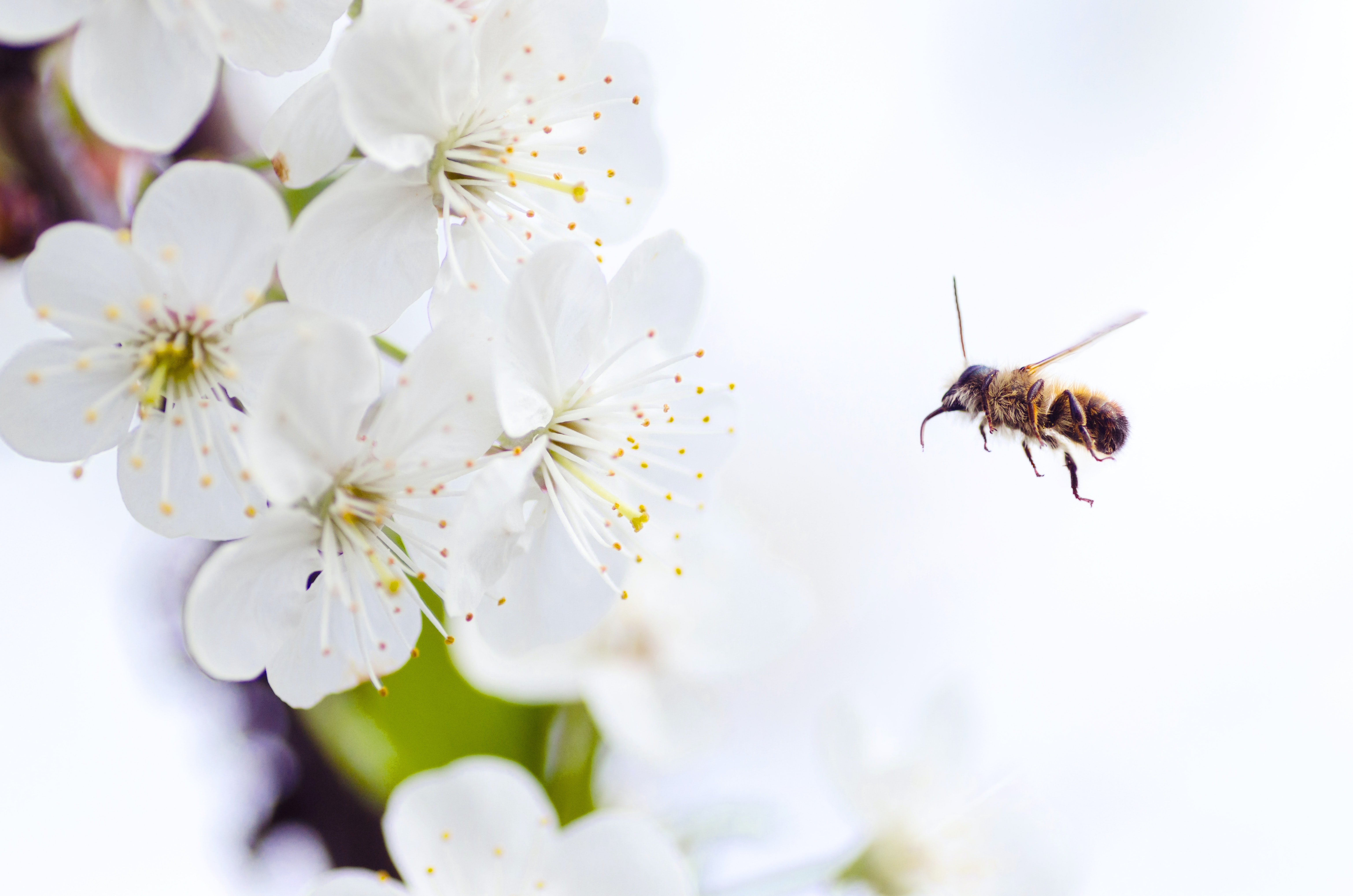 A close-up photo of a bee pollinating flowers