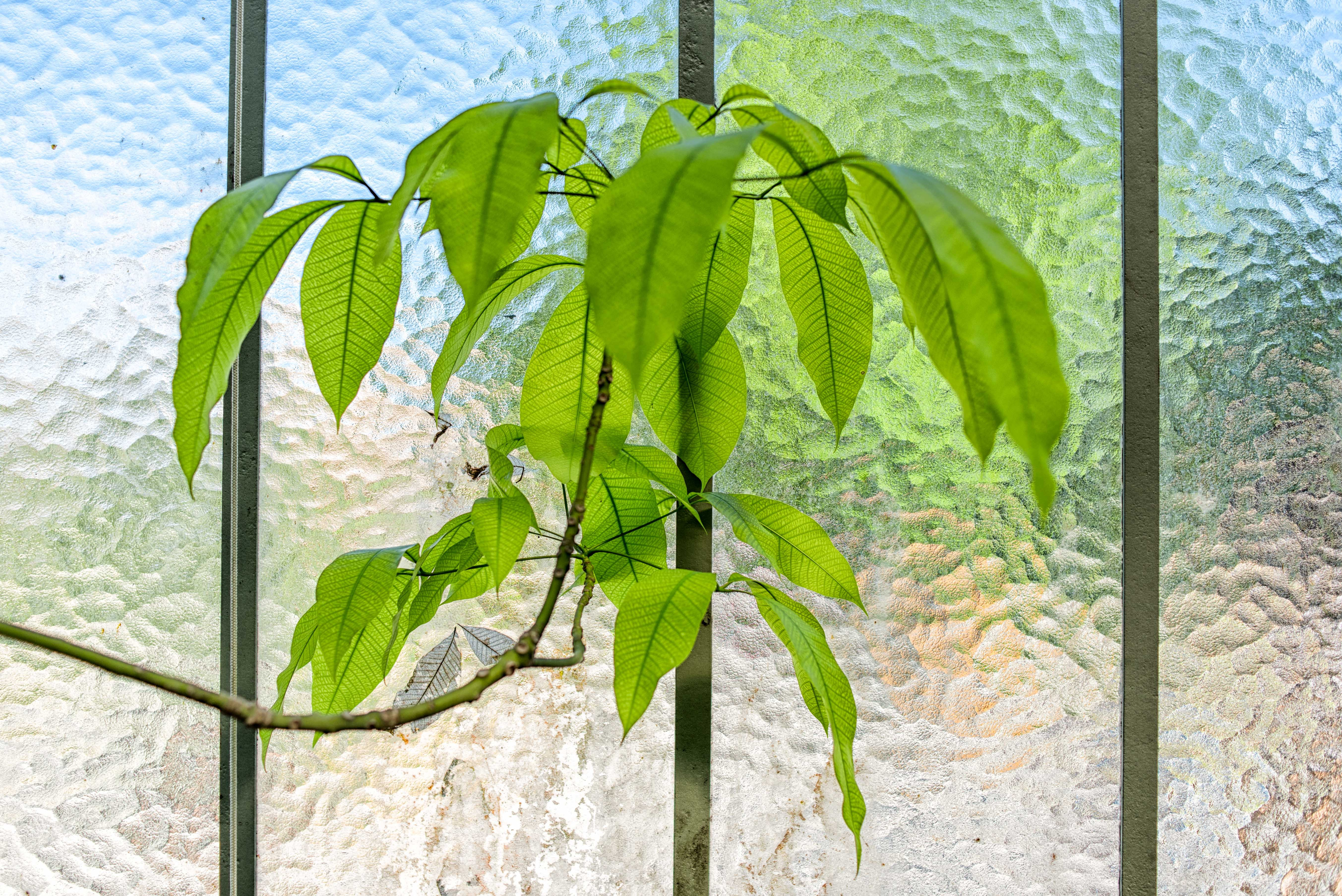 House plant with translucent leaves against clouded glass window