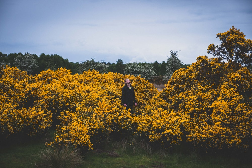 person standing in middle of yellow flower fields