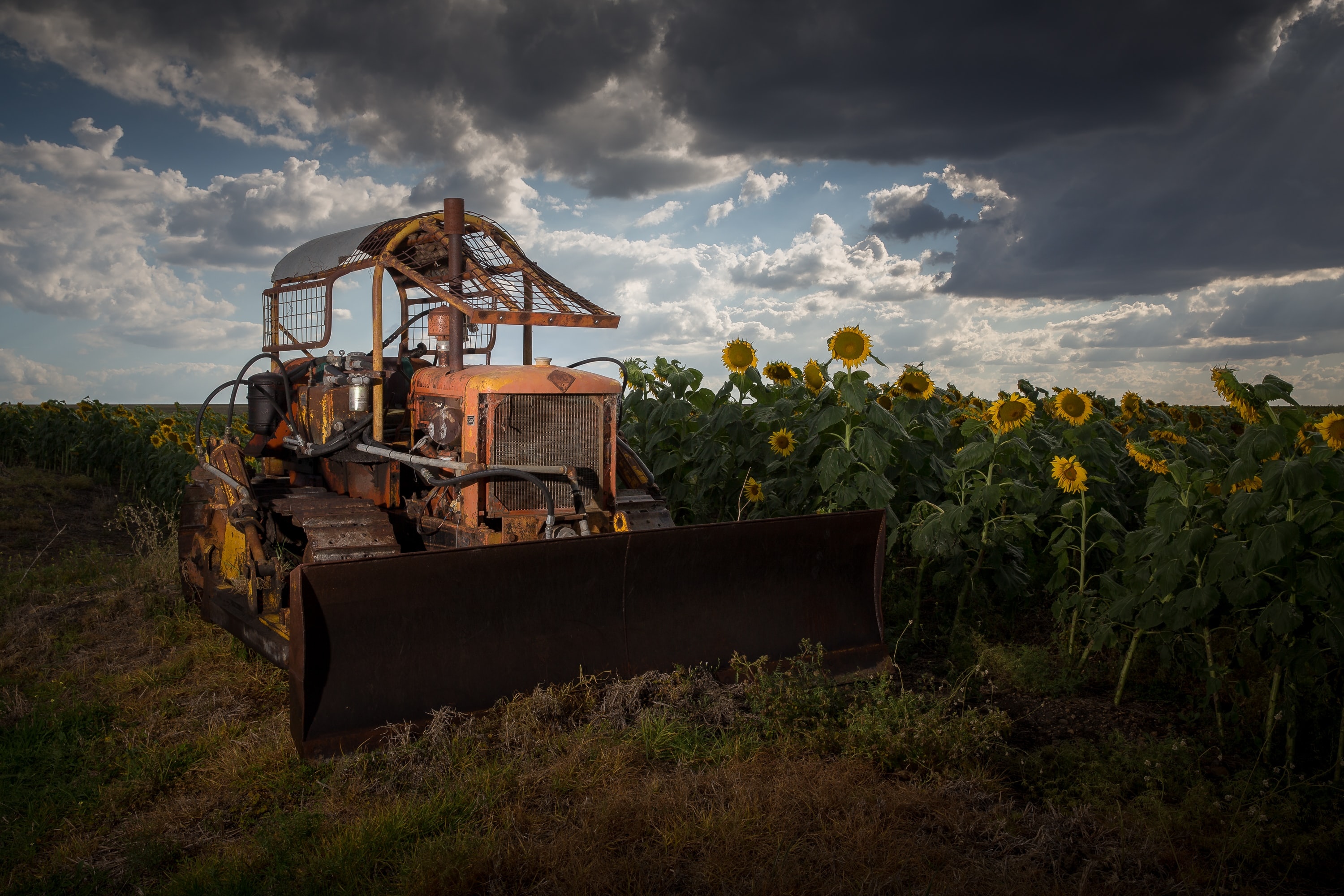 A tractor in a field of sunflowers.