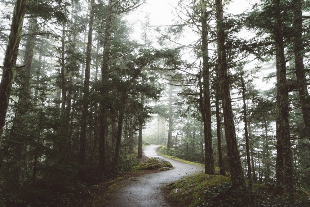 curved road surrounded with tall trees