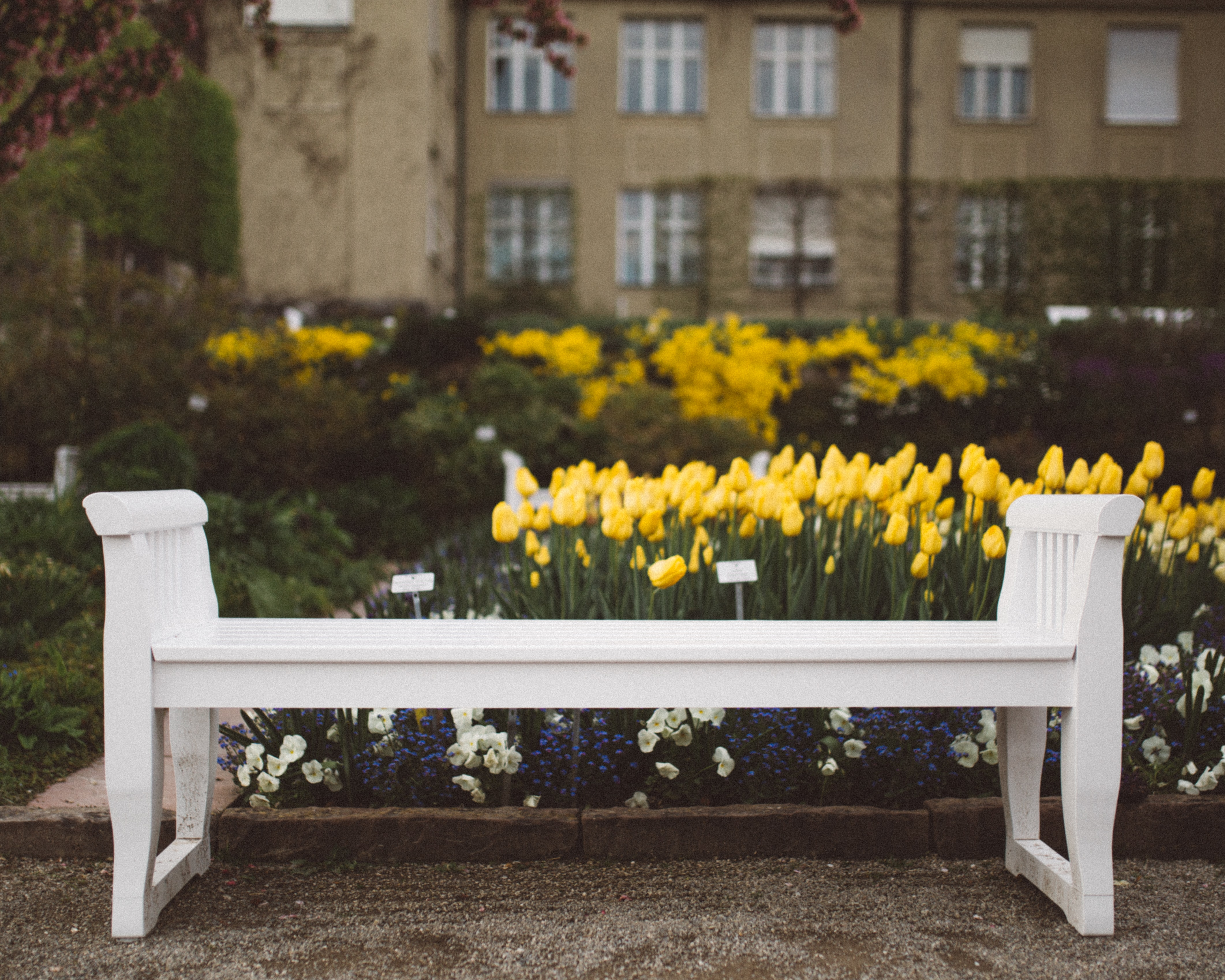 White bench in a garden in front of yellow tulip beds in a park