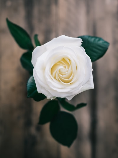 white rose enclosed photograph