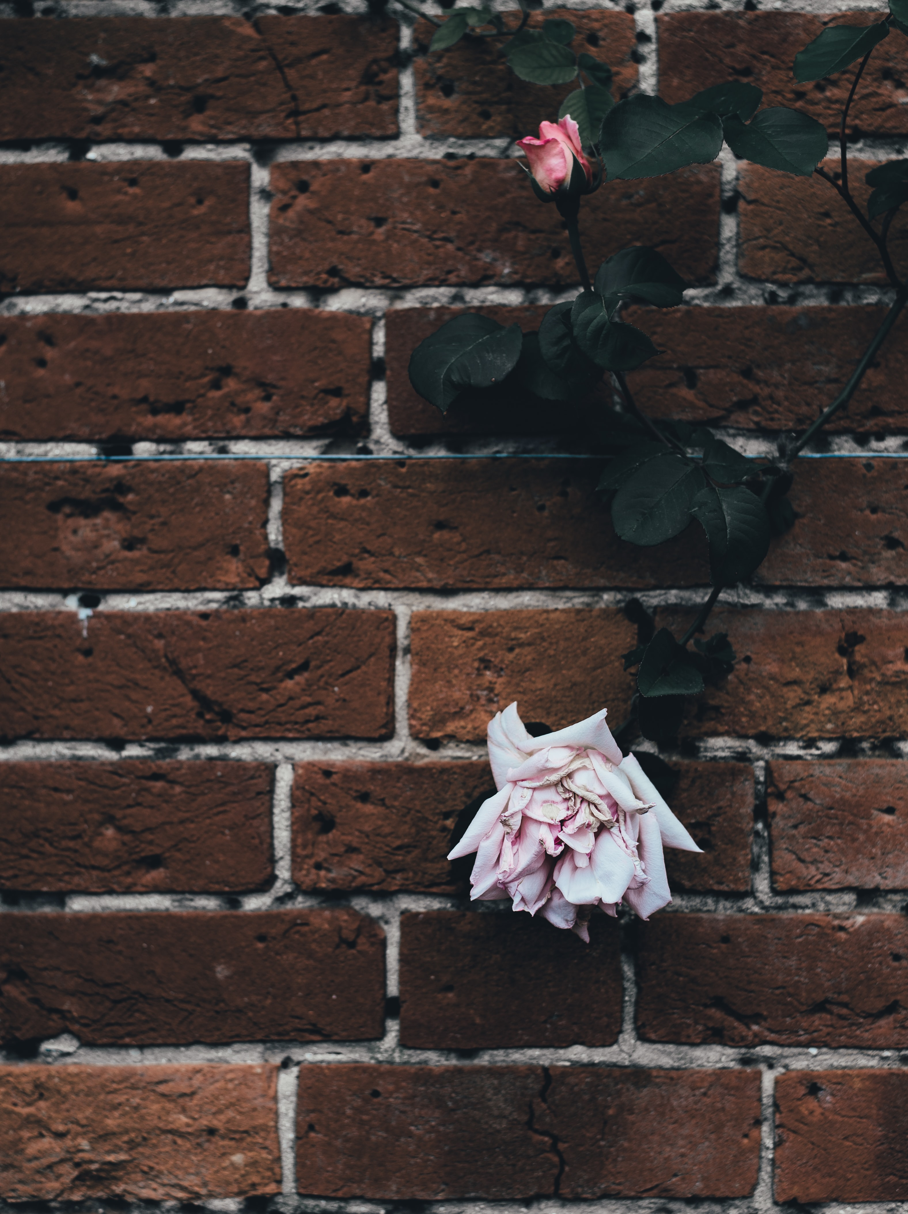 A climbing rose with pink flowers on a brick wall