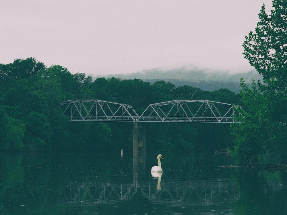 swan swimming on body of water near bridge