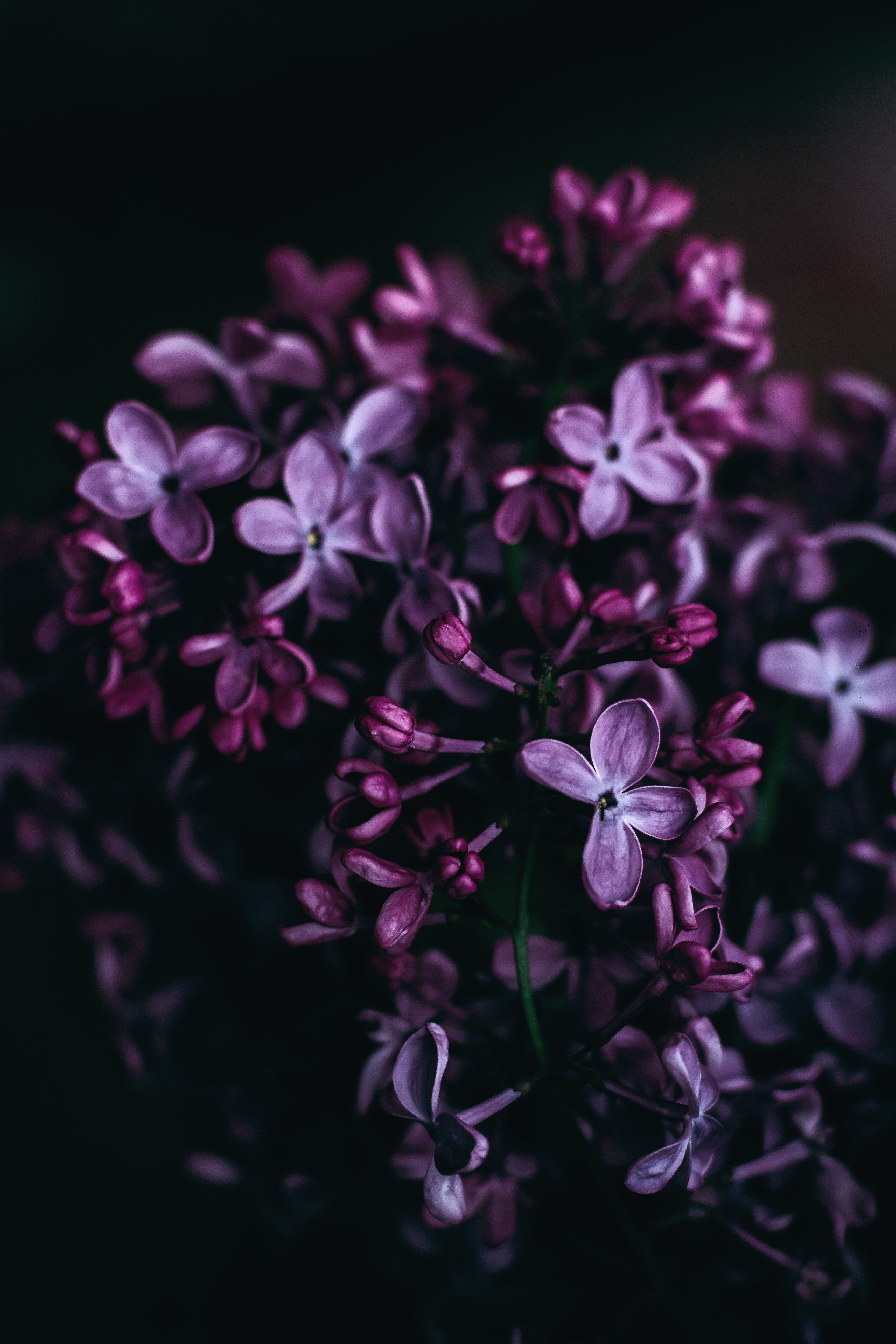 A close-up of purple lilac flowers against a black background