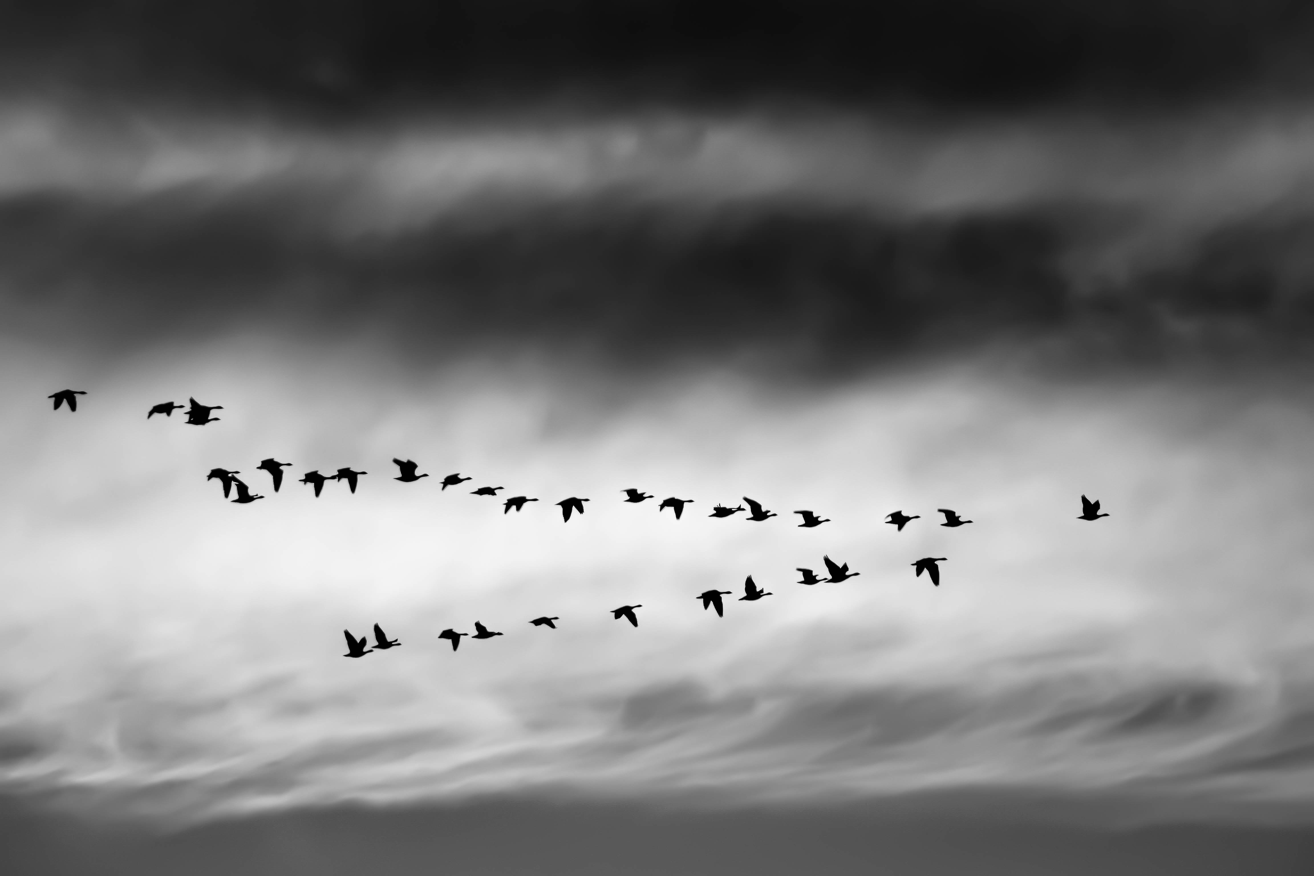 Black and white shot of geese flying in formation with cloudy sky in Boulder