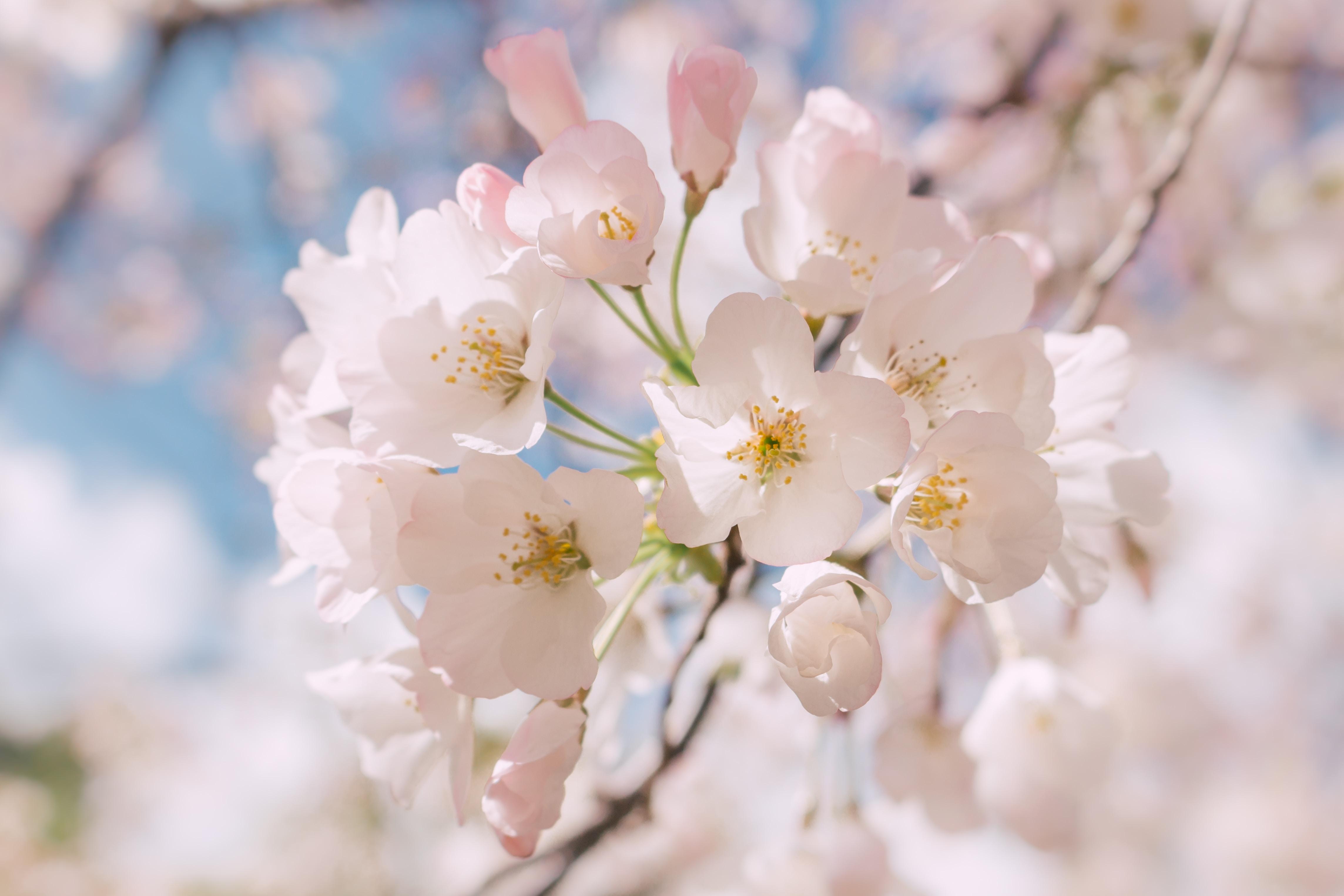 Macro of white blossom on branch in Spring, Elizabeth Gamble Garden