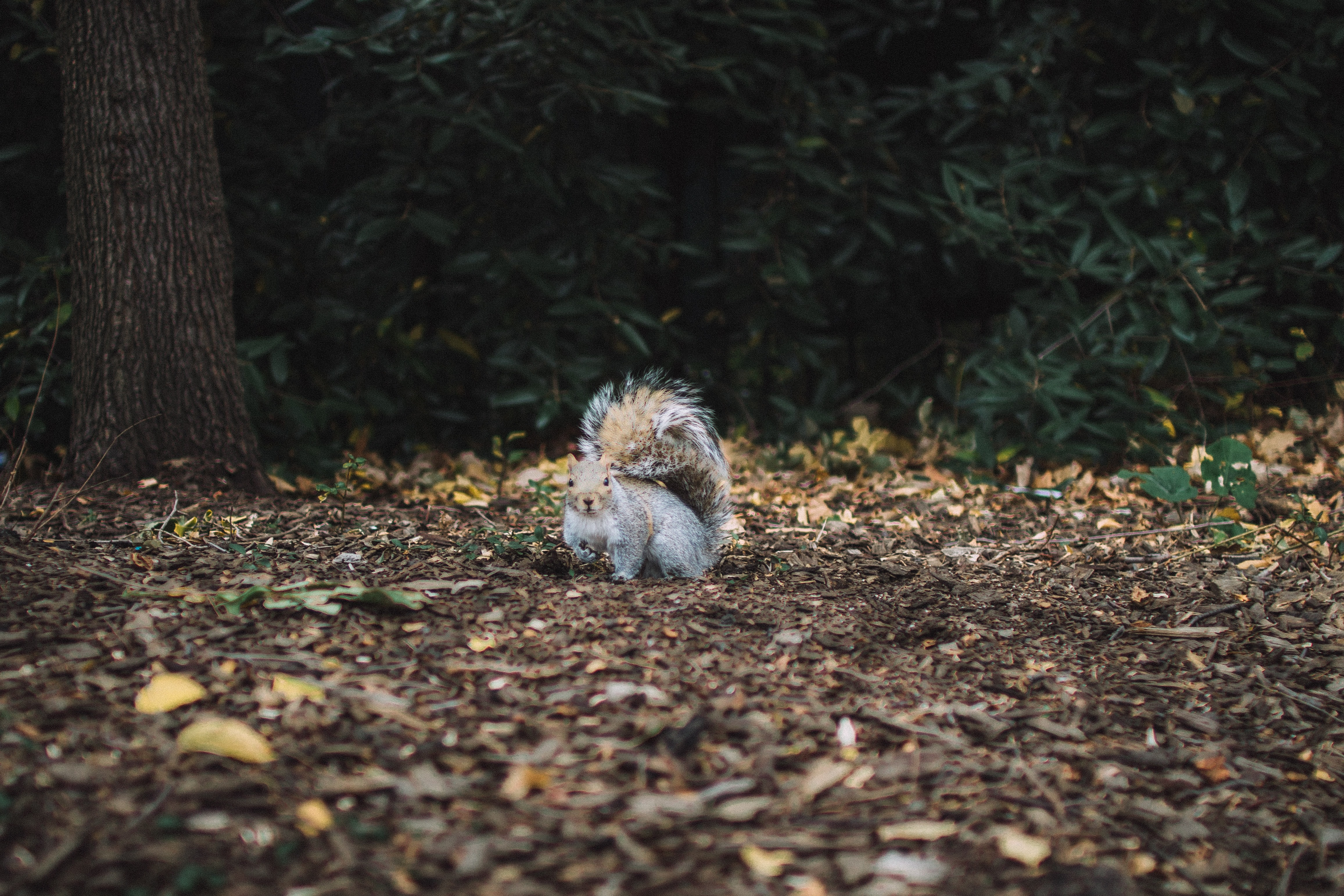 A squirrel looking up in surprise surrounded by fallen leaves and pieces of bark on the forest floor