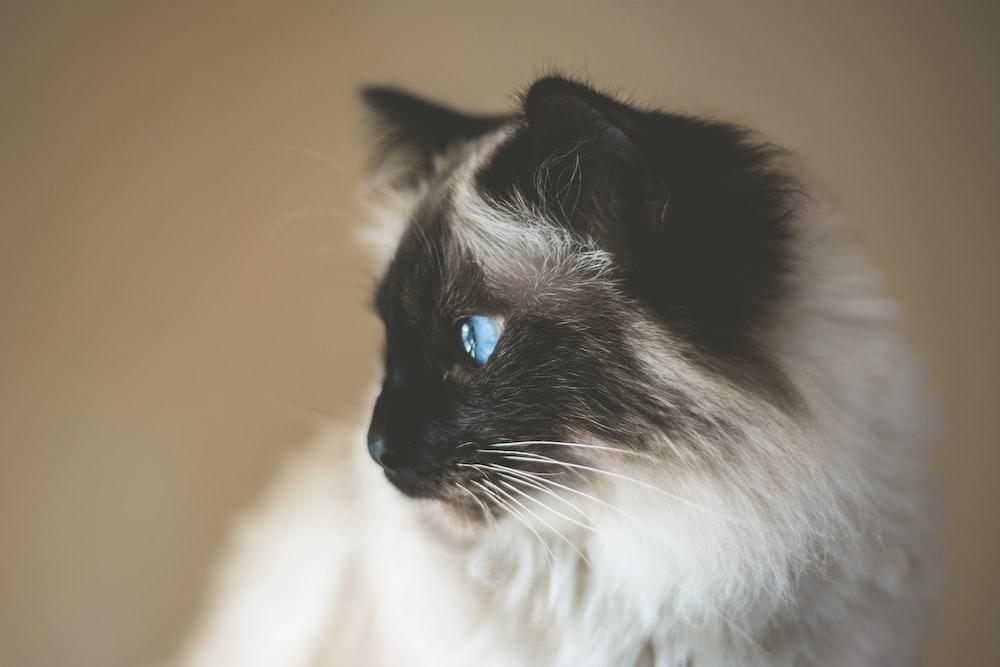 short-coated white and black kitten