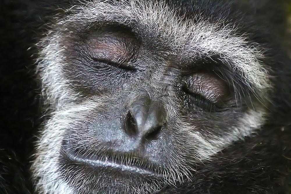 close shot of gray monkey face