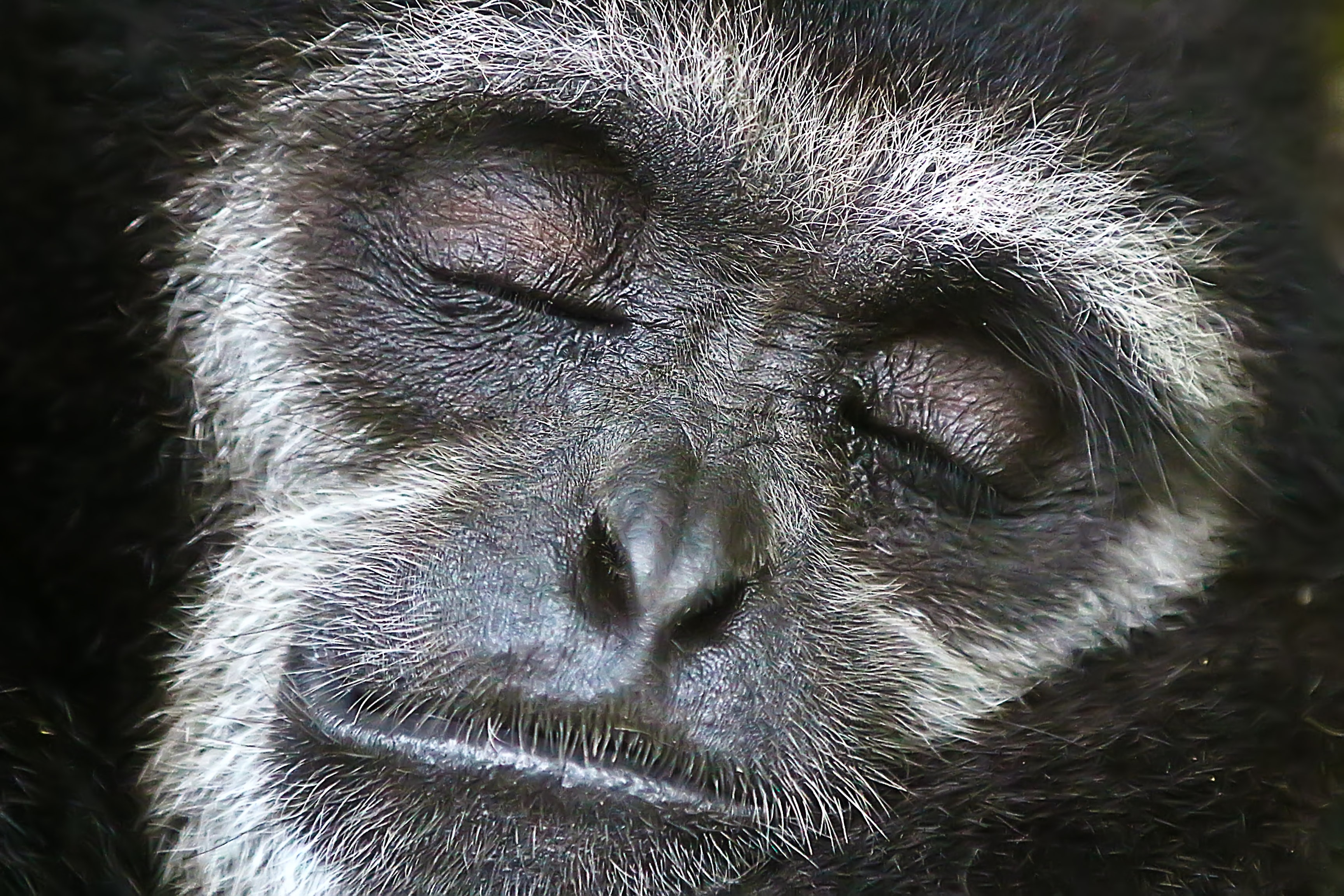 close shot of gray monkey face