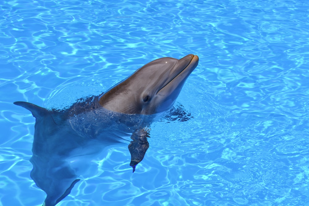 dolphin with head sticking out of water during daytime