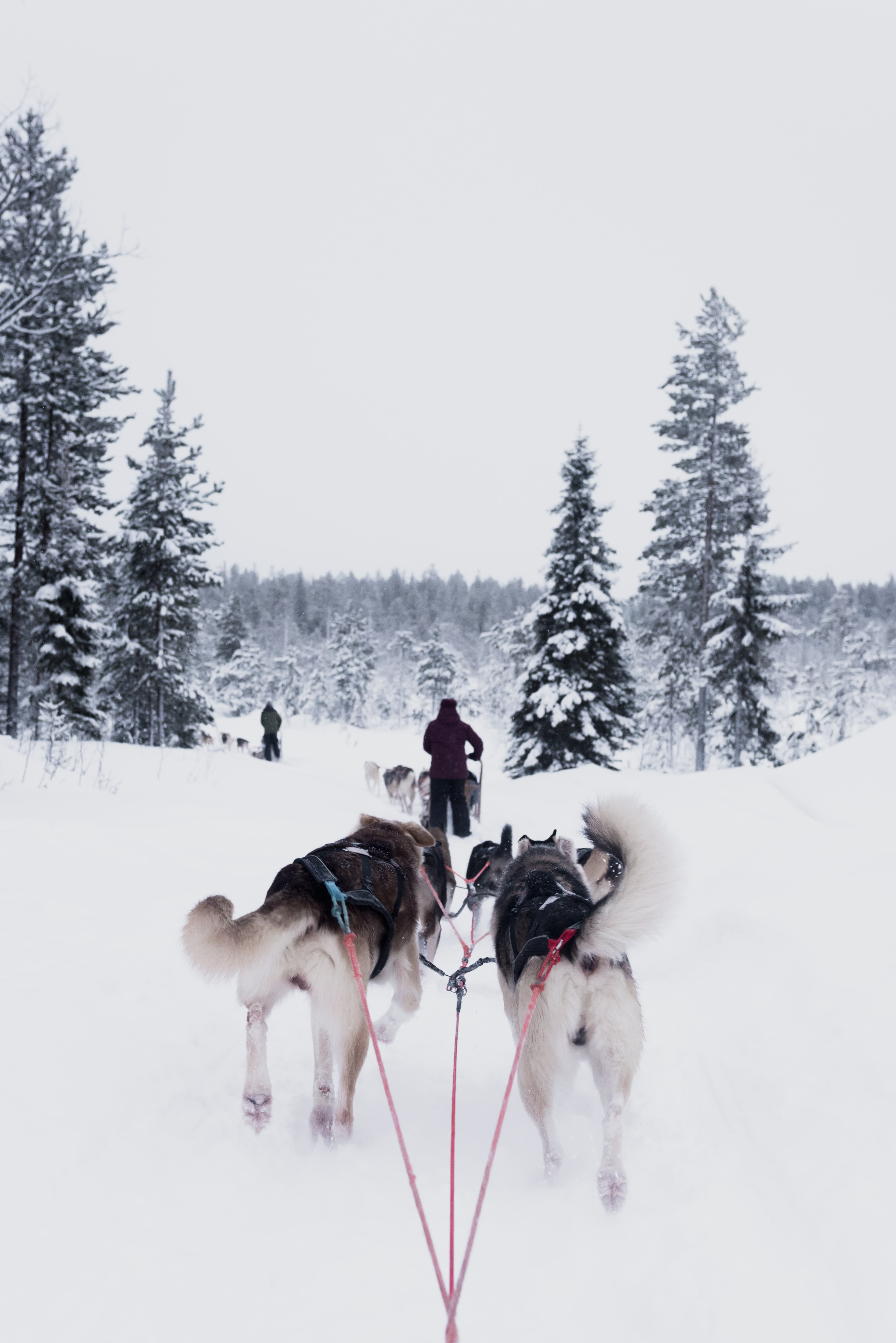 Man with dog sled is followed by two other dogs pulling another sled in Rovaniemi