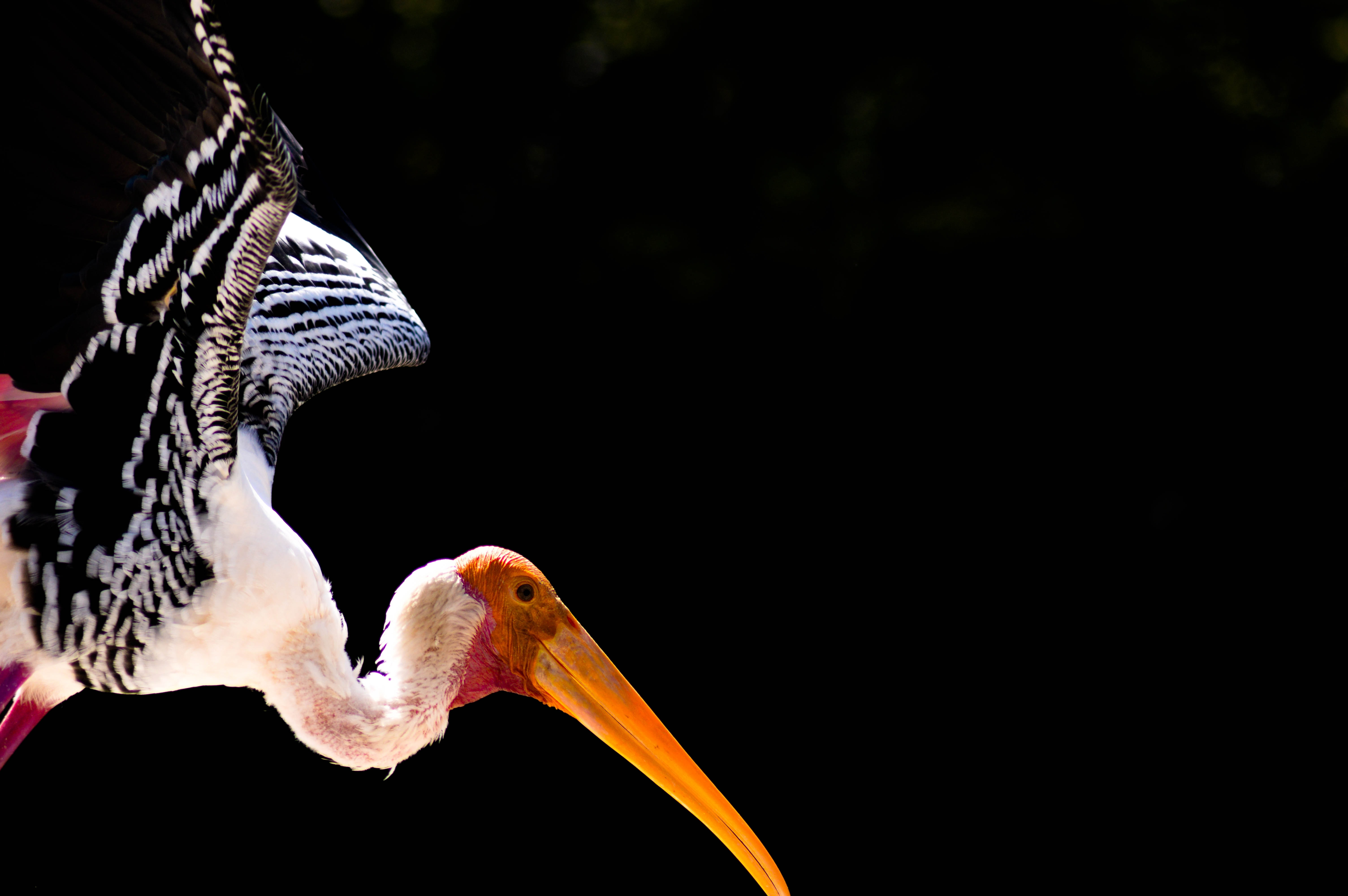 Stork spreads its wings to fly in the wild