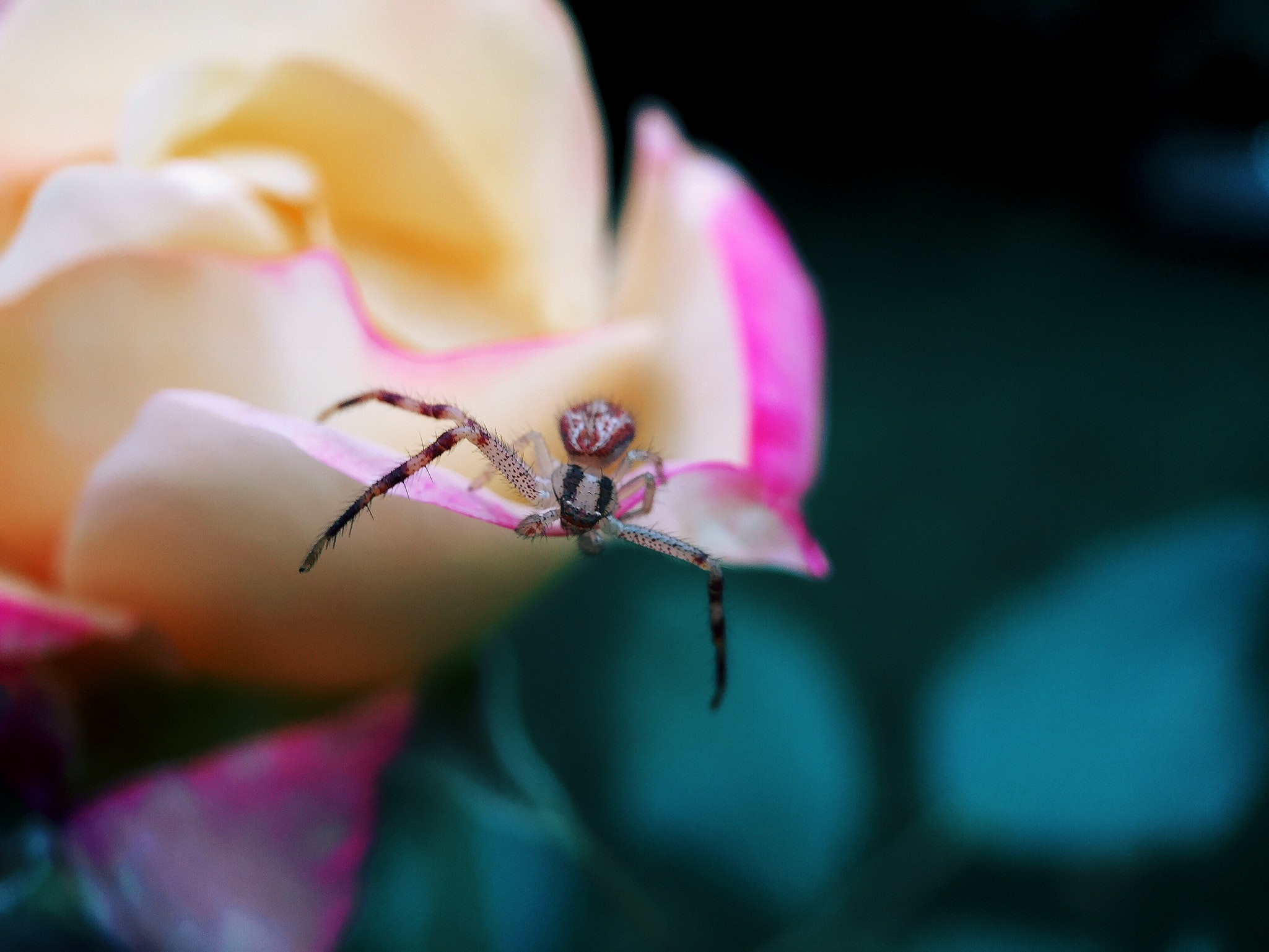 The macro view of a spider on a pink flower in Sainte-Anne-de-Bellevue, Quebec, Canada