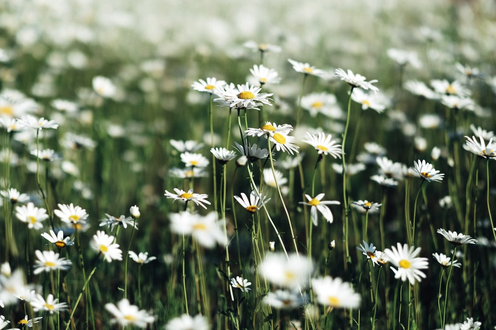 Spring flowers pictures download free images on unsplash white daisy flower field mightylinksfo