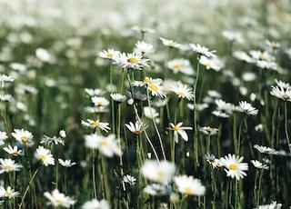 white daisy flower field