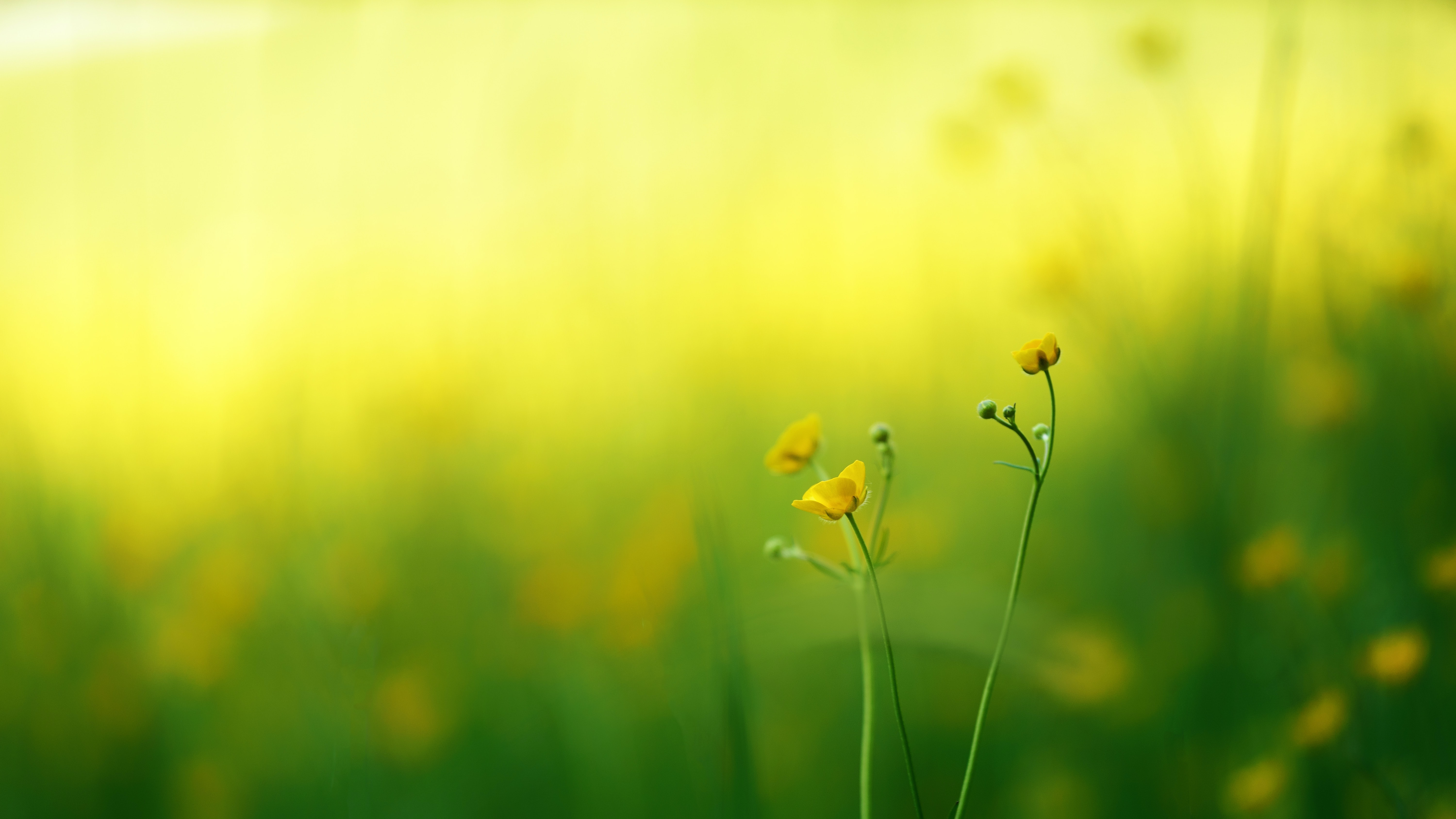 Several buttercup flowers against a blurry background of a meadow