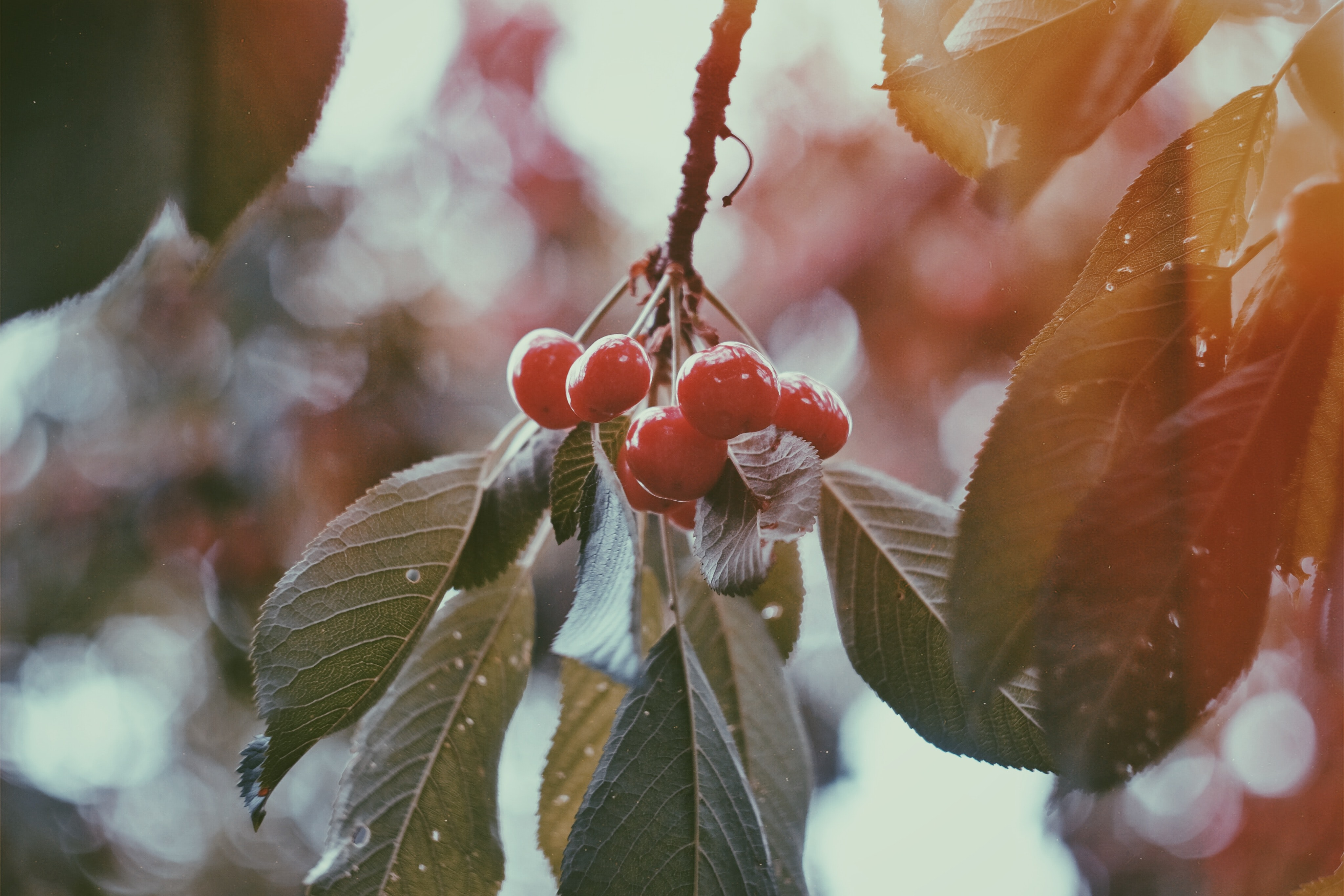 Wild red berries on a leafy branch in the winter