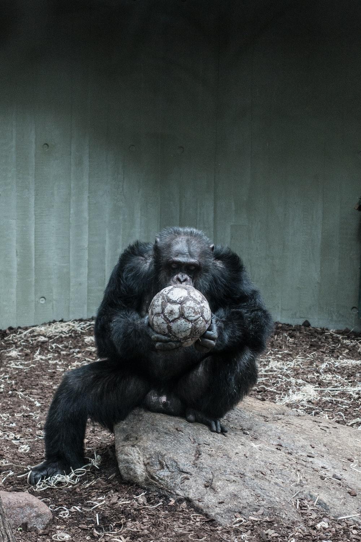ape holding soccer ball