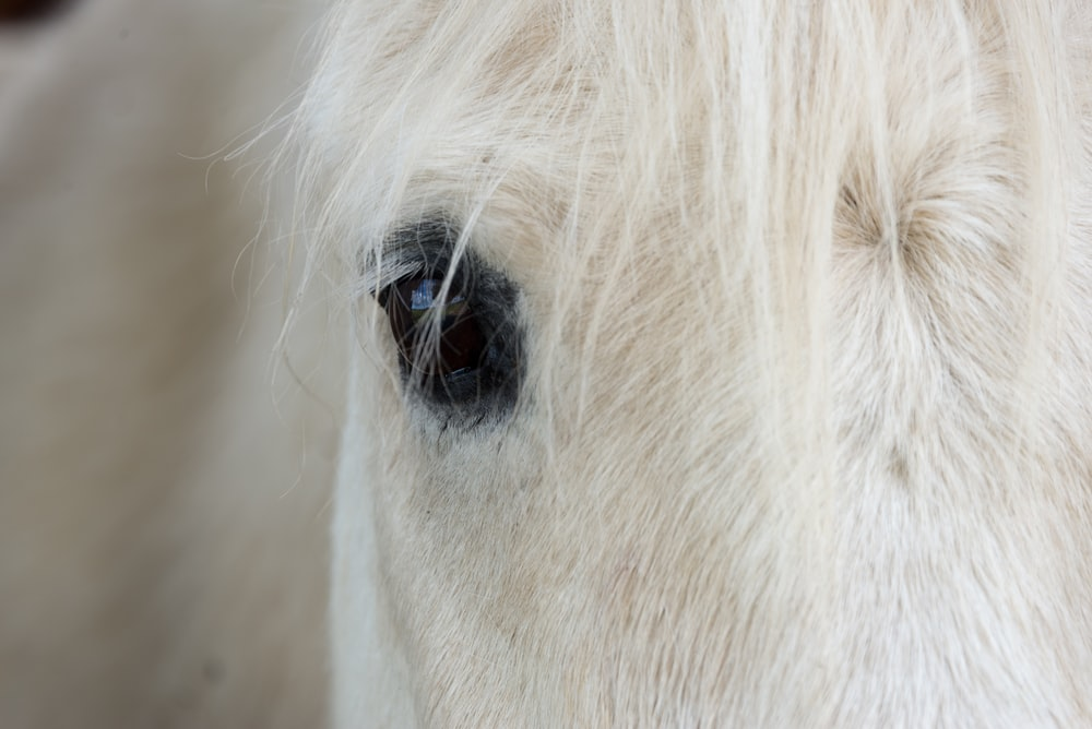 white horse's right eye